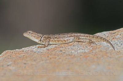 Sagebrush Lizard, Placer co, CA, 7-30-10.