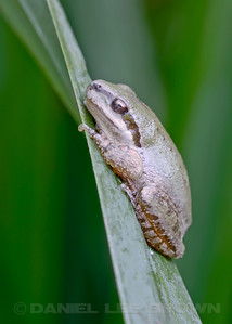 Pacific Tree Frog, Glenn County, CA, 8-21-12. Cropped image.