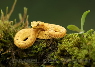EYELASH VIPER, YELLOW PHASE, captive