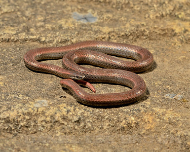Sharp-tailed Snake, Sacramento, County, CA, 5-9-14. Cropped image.