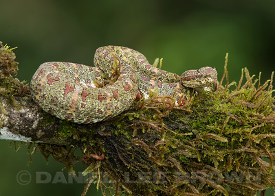 EYELASH VIPER, CHRISTMAS TREE PHASE, captive