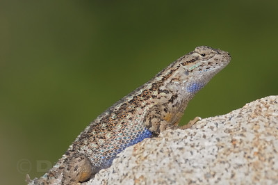 Western Fence Lizard, Placer co, CA, 7-30-10.