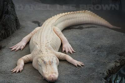 Leucistic (partial albino, sort of!) American Alligator, Steinhart Aquarium, SF