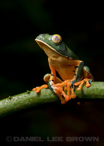 YELLOW-EYED TREEFROG
