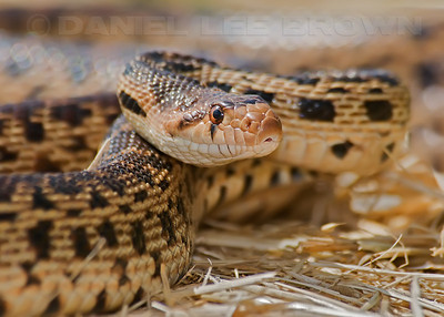 Gopher Snake, Yolo Bypass Wildlife Area, Yolo co, CA, 5-26-10,