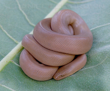 Rubber Boa, El dorado co, Ca, 6-20-09.