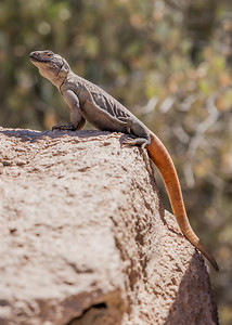 Captive, at The Arizona Sonora Desert Museum.
