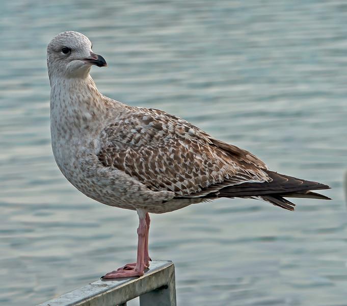 Herring Gull, Larus argentatus.