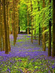 Bluebells on the Ashridge Estate in Spring.