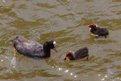 Waterkipjesfamilie