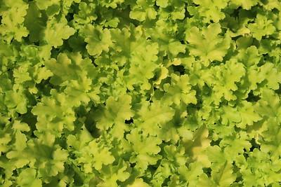 Heuchera 'Lime Marmalade' (2)