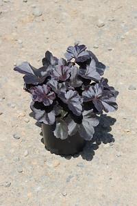 Heuchera x 'Obsidian' #1