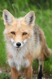 Wild fox on Prince Edward Island, Canada