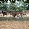Fallow Deer in Home Park