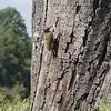 Green Woodpecker in Bushey Park