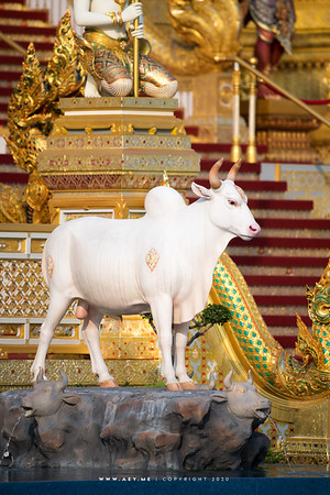 Cow at the South Side of the Crematorium for His Majesty King Bhumibol Adulyadej