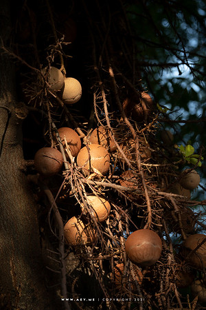 Cannonball Tree, Wat Rakhang Khositaram