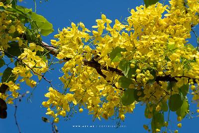 Golden Shower Tree (Cassia fistula)