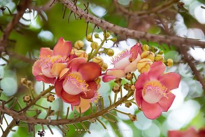 Cannonball Tree (Couroupita Guianensis),  Wat Niwet Thammaprawat, Bang Pa-In, Ayutthaya
