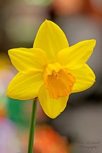 Daffodil at Hicks Nursery 2017 Spring Flower Show.