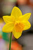 Daffodil at Hicks Nursery 2017 Spring Flower Show.