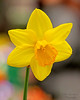 Daffodil at Hicks 2017 Spring Flower Show.