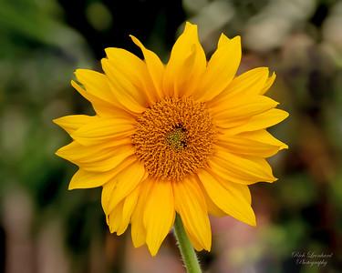 Sunflower at the Hicks Nursery Spring flower show.