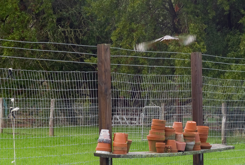 December 16 - On a wet, cold day, I surprised a hawk as it sat on the pasture fence.