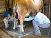 January 6 - Two nights ago, a new calf, Clyde, arrived. Here his mother is milked as he explores the barn.