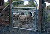 The sheep enjoy the better view from their new gate, and everyone enjoys its easier operation.