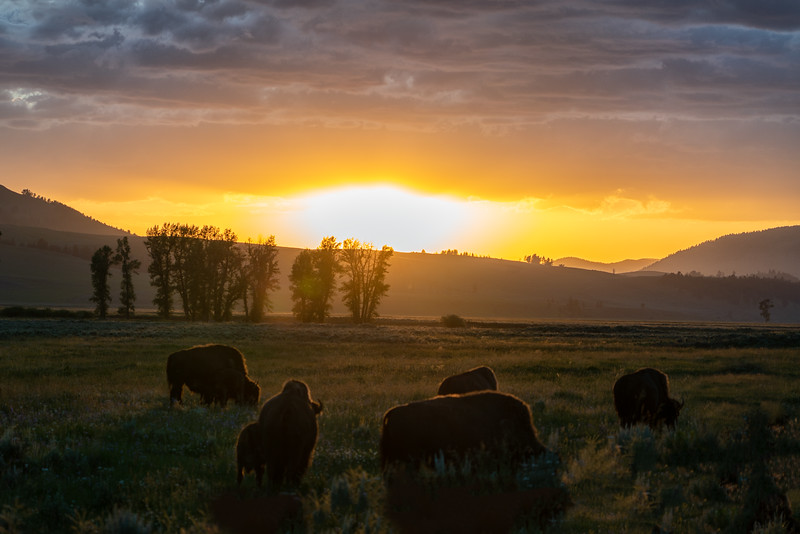 Bison heard ar Sunset