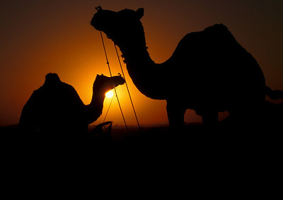 Camels at the Pushkar camel festival.