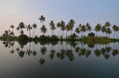 Palm trees in the backwaters of Kerala, India.
