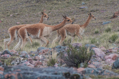Vicuna, the wild relatives of domestic llamas and alpacas, roam free over the puna grassland in the high Andes.