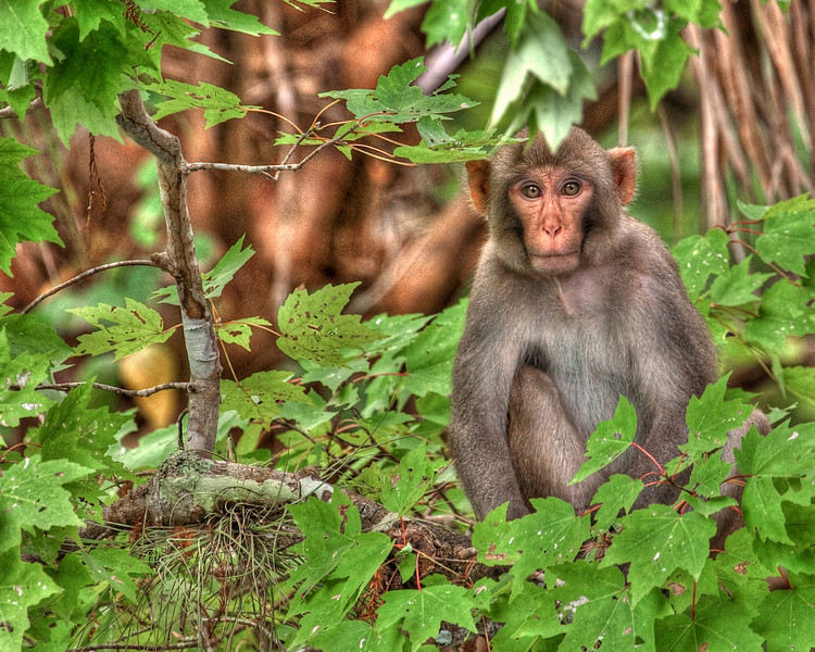 Silver River Monkey HDR