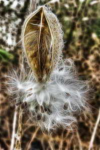 """Milkweed"" December 11th, 2010"
