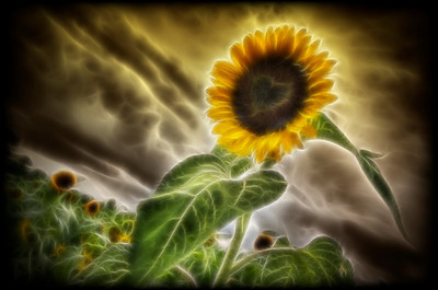 """The Fractailus Heart of the Sunflower"" August 3rd, 2011"