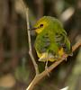 1st year Hooded Warbler under backlit greenery