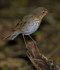 Thrush, not sure which