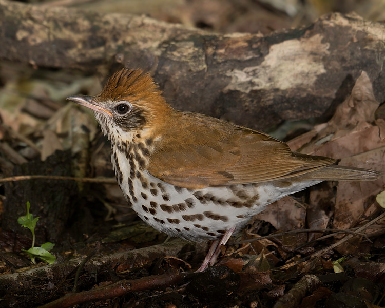 Wood Thrush.  First time I have seen at blind in several years.  Shot with ILCE_A7RmII and Sony SAL70400G2_SSM lens with effective focal length of 400mm.  ISO400, F8,  1/60 sec.