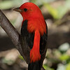 Scarlet Tanager male backlit by sun and tanager shadow side illuminated by fill flash.  Shot with ILCE_A7RII body and Sony SAL70400G2 lens.  Shot with 2 Sony Model 60 flashes mounted 7 feet either side of camera and in High Speed Sync mode.  In this mode, the shutter-speed is adjustable and was set to 1/400 sec. and set to F8 when shooting.  ISO was at 400.  The shadows on the camera side of the bird's  exposure were additionally lightened during PP.  I feel the sensor's  high resolution, lack of noise, and high light percentage capture played a large role in the outcome of this image.  In the past eight years, I have never had a Scarlet Tanager look like this.