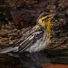 After - Blackburnian Warbler, female shot on 043015.