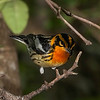 Blackburnian Warbler, male shot with Sony A900 body and Sony SAL70400G_SSM lens remted from LensRentals and first time to use.  Effective focal length of 400mm.  Focus at F5.6 and shot at  F10.