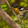 Blackburnian Warbler, male.  6% crop of the full-frame.