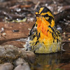 Blackburnian Warbler, male shot 042315.