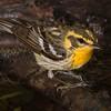 Blackburnian Warbler female.