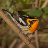 Blackburnian Warbler, male.  2.2% crop of full-frame.