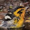Blackburnian Warbler male shot on 042315.