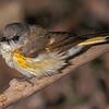 American Redstart, female.