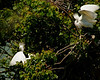 Snowy Egrets.